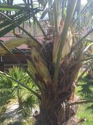 Trachycarpus fortunei, část 2 - Stránka 11 31364421_2132007407030560_2306591506049269760_n