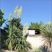 Mrazuodolné juky - rod Yucca - Stránka 6 10_6_2014_z_o_34