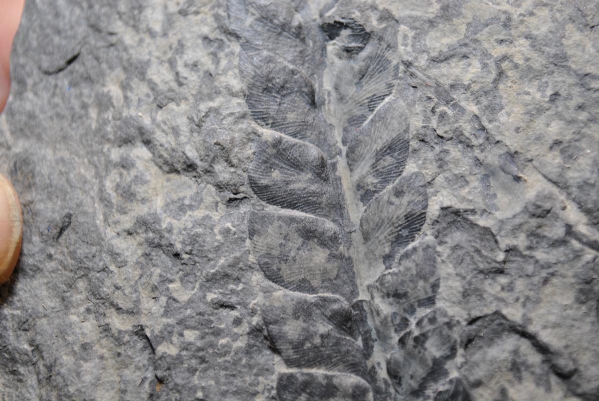 Lescuropteris Genuina DSC_8232