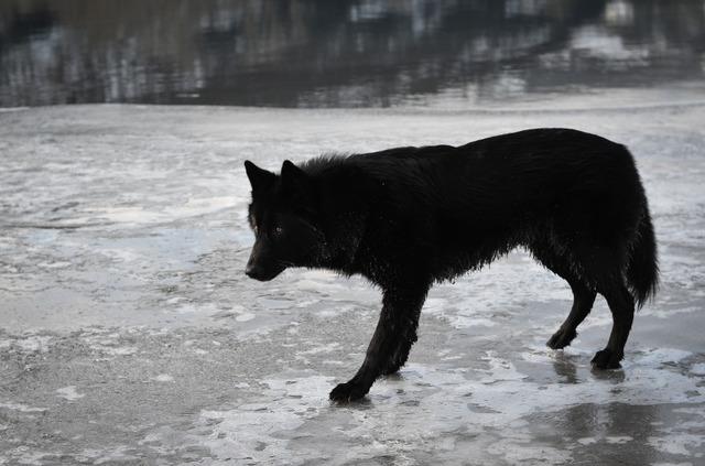 Alaskan noble companion dog 1o8xms