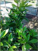 Pomerančovníky - Citrus sinensis - Stránka 2 2014_05_25_15_49_32