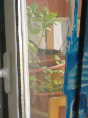 Melros na minha varanda 016