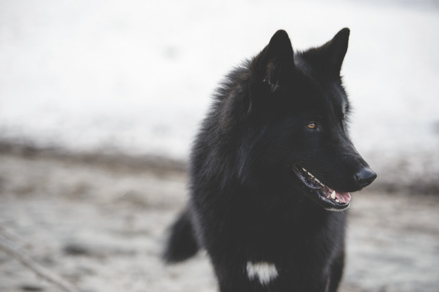 Alaskan noble companion dog 351icz7