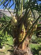 Trachycarpus fortunei, část 2 - Stránka 11 31531789_2132007393697228_3151461115620229120_n