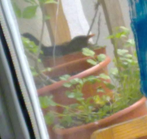 Melros na minha varanda 017
