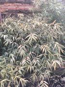 Bambusy - Stránka 2 29527554_2116019911962643_136490646_o
