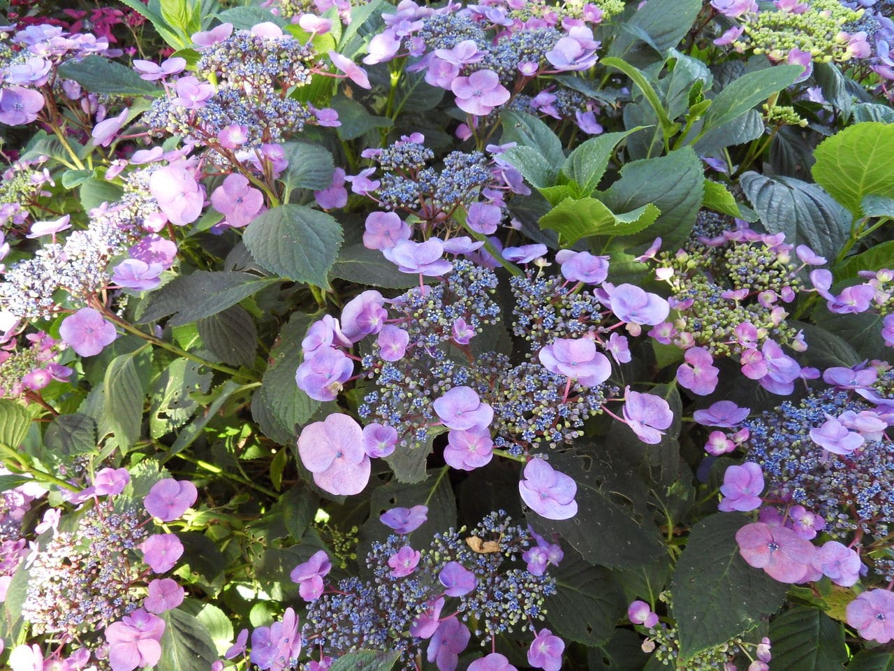 hortensia - Page 6 SDC14281