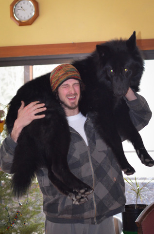 Alaskan noble companion dog 2aeyur5
