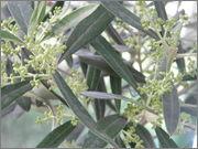 Olea europaea - olivovník evropský P5080017