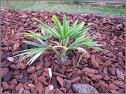 Variety Trachycarpusu fortunei Tr_Bulgaria