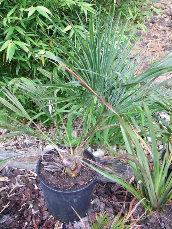 Trachycarpus ukhrulensis/oreophilus (sp. Manipur) DSCF5545