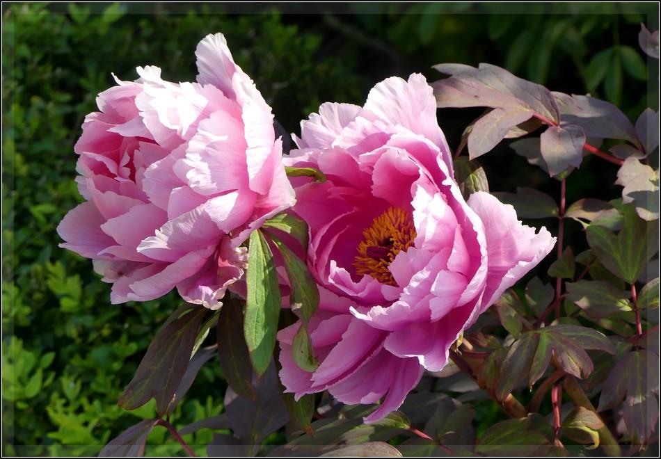 Fleurs de l'abbaye... P1070590