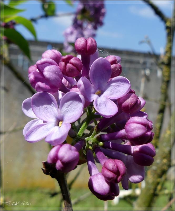 couleur lilas + rajout  P1060452