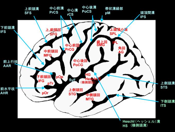 脳回(脳のしわで区切られた各部)と脳溝(脳のしわ部分) MRI_Plaza_umin_ac