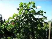 Paulownia tomentosa IMG_4312