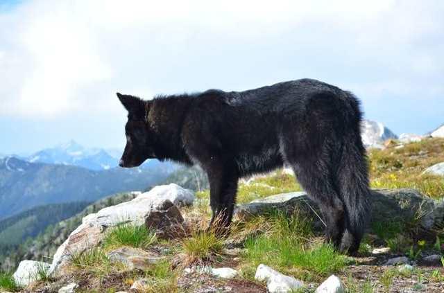 Alaskan noble companion dog 34qmp6w