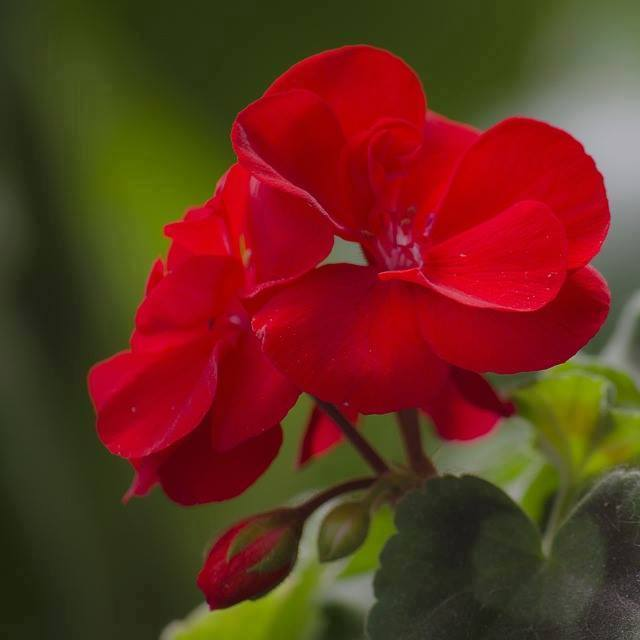 Crveno cveće - Page 6 11178209_515422325288150_4127227215371392061_n
