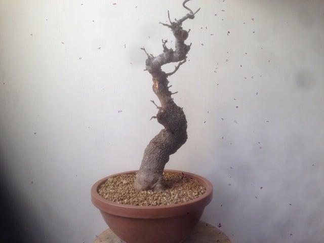 prunus mahaleb grossa talea IMG_0244