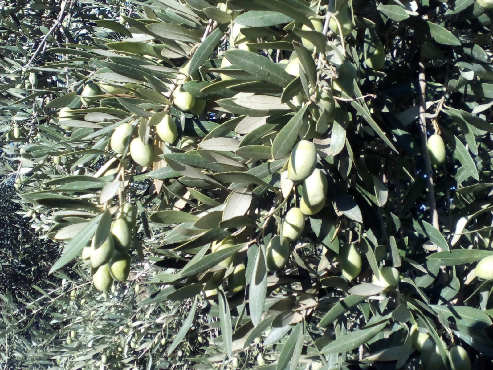 Olivo pajarero 2iav39v