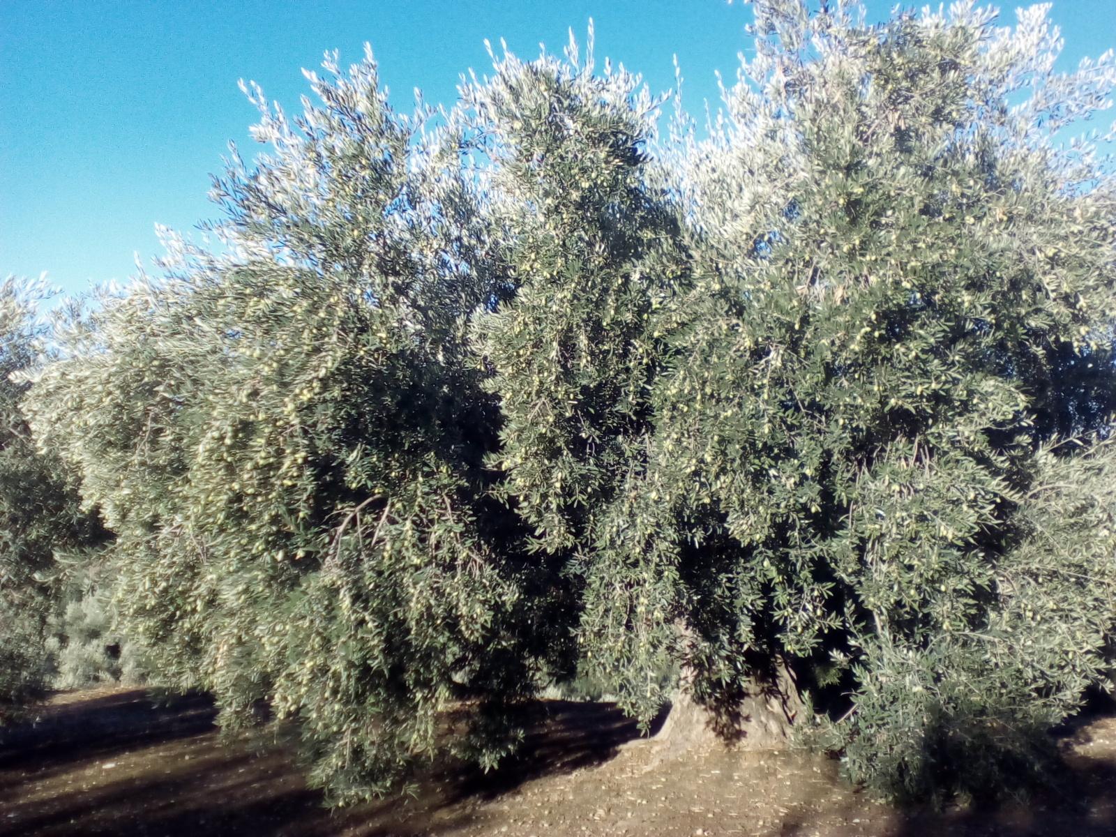 Olivo pajarero Eja52h