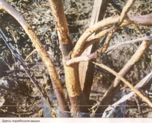Борьба с вредителями и болезнями растений.Профилактика. - Страница 2 Mischevidnie-borba