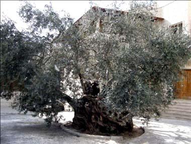 > أخبار فلسطين Zaytoonia1432010