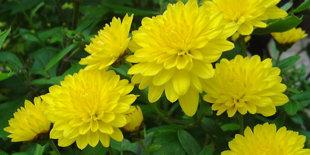10 loại hoa mang may mắn cho tết Nhâm Thìn Hoa_cuc