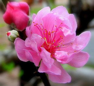10 loại hoa mang may mắn cho tết Nhâm Thìn Hoa_dao