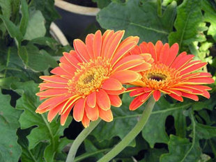 10 loại hoa mang may mắn cho tết Nhâm Thìn Hoa_dongtien