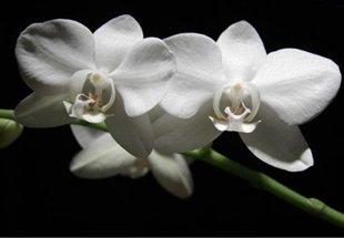 10 loại hoa mang may mắn cho tết Nhâm Thìn Hoa_lan