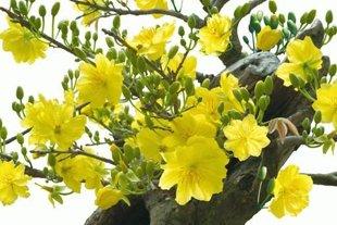 10 loại hoa mang may mắn cho tết Nhâm Thìn Hoa_mai