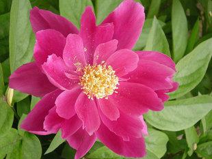 10 loại hoa mang may mắn cho tết Nhâm Thìn Hoa_maudon