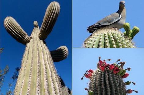 интересные факты о кактусах Samyi-bolshoi-kaktus