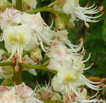 une fleur - blucat-  8 août trouvée par martine - Page 2 Fleurs-de-marronnier-d-Inde-Arbres-et-arbustes-du-Poitou-Charentes-Bouresse-Sandrinephotos