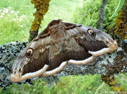 un animal - blucat- 28 août trouvé par ajonc - Page 2 Grand-paon-de-nuit-Saturnia-pyri-Papillon-de-nuit-Bouresse-Poitou-Charentes-2-