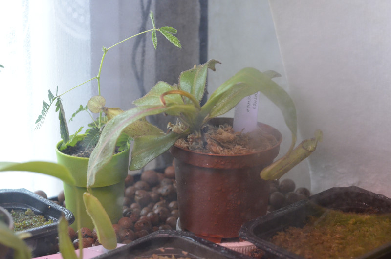 Nepenthes Platychila Nep-pla4