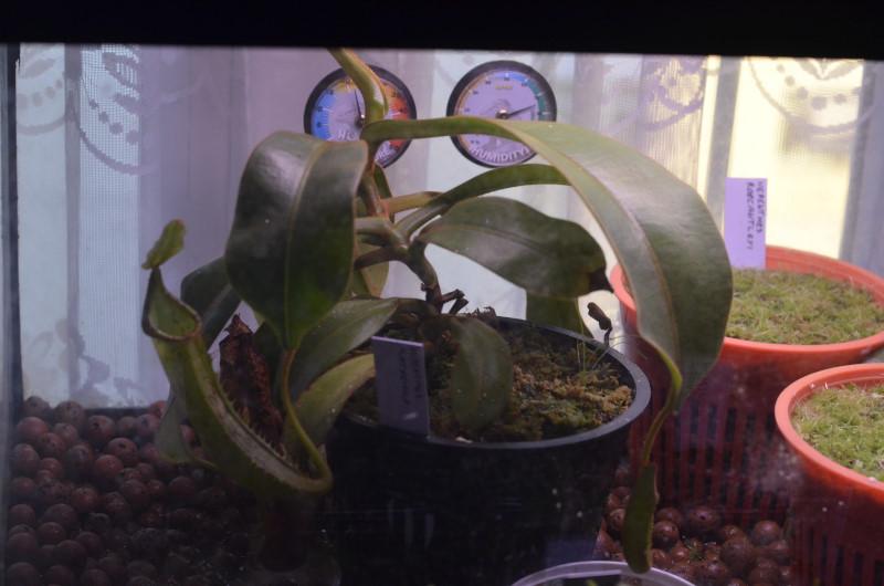 Nepenthes Platychila Nep-pla9