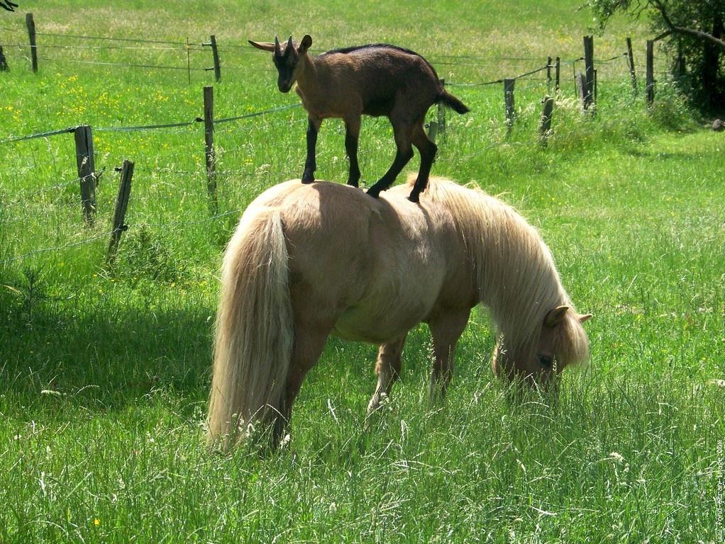 les chevaux.. - Page 4 Poney-et-biquette