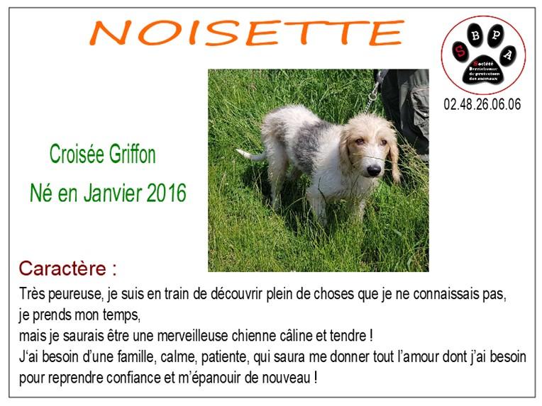 NOISETTE - x griffon 2 ans -SBPA à  Marmagne (18) Noisette