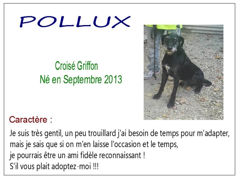 POLLUX - x griffon 7 ans - SBPA à Marmagne (18) Pollux