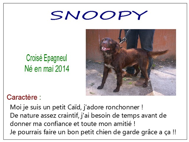 SNOOPY - x epagneul 7 ans - SBPA à Marmagne (18) Snoopy