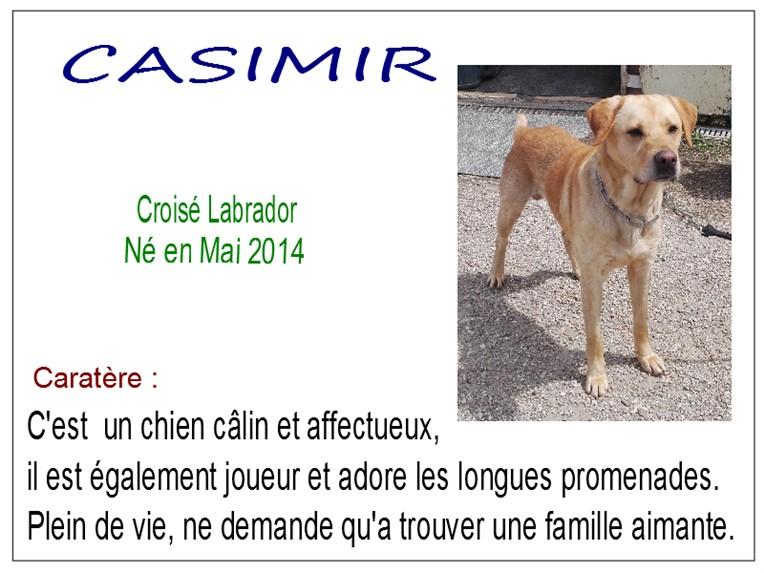 CASIMIR - x labrador 6 ans - SBPA à Marmagne (18) Casimir