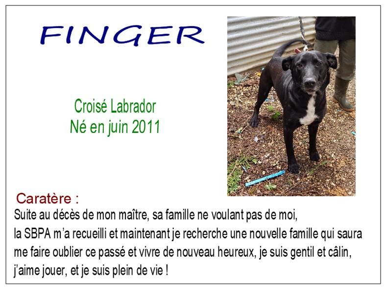 FINGER - x labrador 9 ans - SBPA à Marmagne (18) Finger