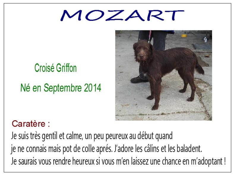 MOZART - x griffon 5 ans - SBPA à Marmagne (18) Mozart