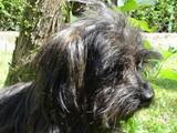 chien Cari
