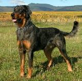 chien beauceron