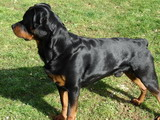 chien Rottweiler