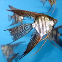Identification poisson Zebra_voile