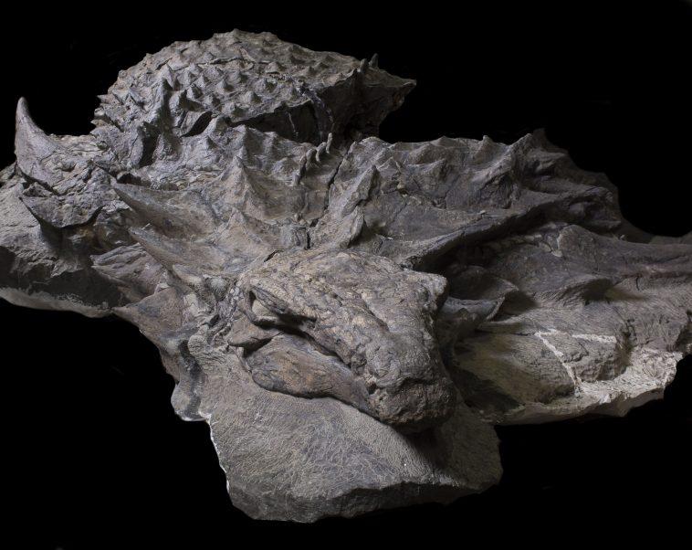 Un dinosaure presque intact RTMP_GFD_Nodosaur-uprepared-758x602