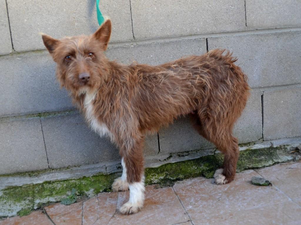 Flor – petite podenca poil dur Scooby France – Adoptée !  En fuite !!! DSC_0024_1